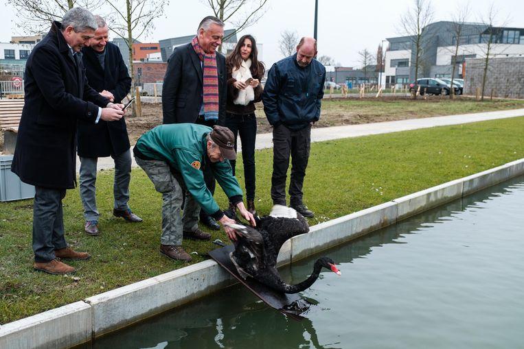 Burgemeester Patrick Dewael en waarnemend burgemeester An Christiaens kijken zaterdag toe hoe de zwarte zwaan weer losgelaten wordt in de vijver aan de Velinx. Op zondag wordt de zwaan dood teruggevonden.