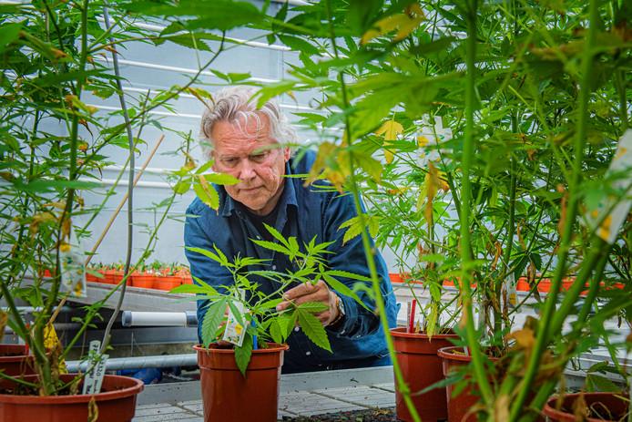 De enige Westlandse kweker van wiet-weefselkweek in zijn bewaakte kas met medicinale cannabisplanten.