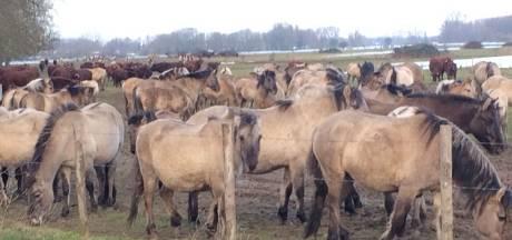 Wilde paarden en runderen geëvacueerd uit overstroomd gebied