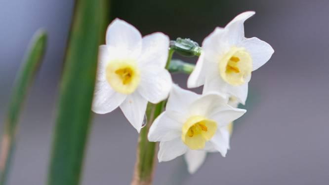 Lente in het land? Narcissen en Japanse sierkers nu al in bloei