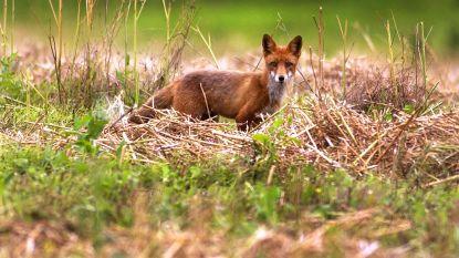 """Verminkte vos aangetroffen in weiland, kwaad opzet niet uitgesloten: """"Er is een klopjacht aan de gang tegen de vos"""""""