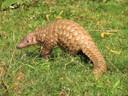 Schubdieren, ook bekend als termieteneters, behoren tot de meest bedreigde diersoorten ter wereld.