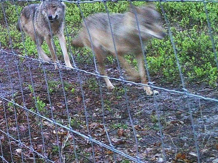 Dit is de eerste foto van het wolvenpaar op de Veluwe: controleurs jagen extra op 'wolvenzoekers'