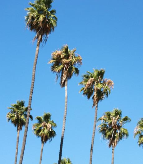 Une maladie mortelle menace les célèbres palmiers de Floride