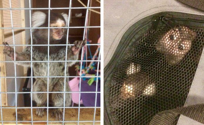 De aapjes werden gehouden als huisdier.