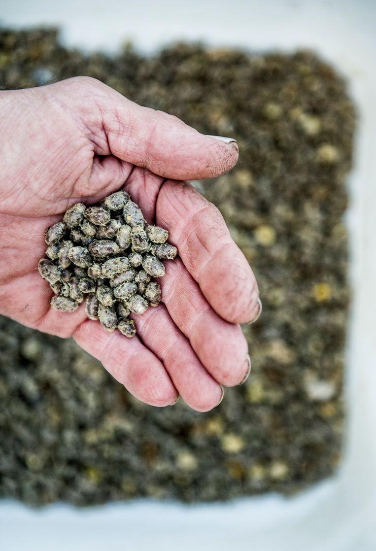 Cocons van de metselbij met klompjes stuifmeel. Beeld Koen Verheijden