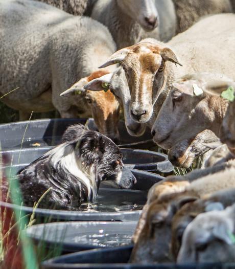 Haarlese herder Susanne Schraven is verslaafd aan schapen