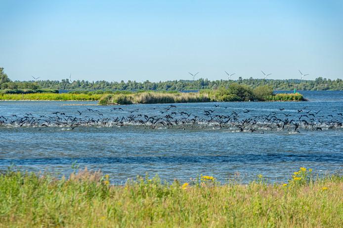 Aalscholvers in het Volkerak