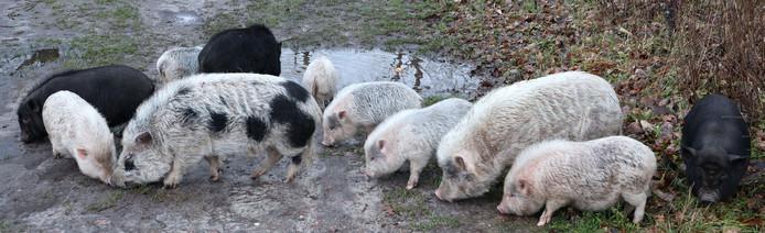 De gedumpte hangbuikzwijnen zijn inmiddels allemaal geadopteerd.
