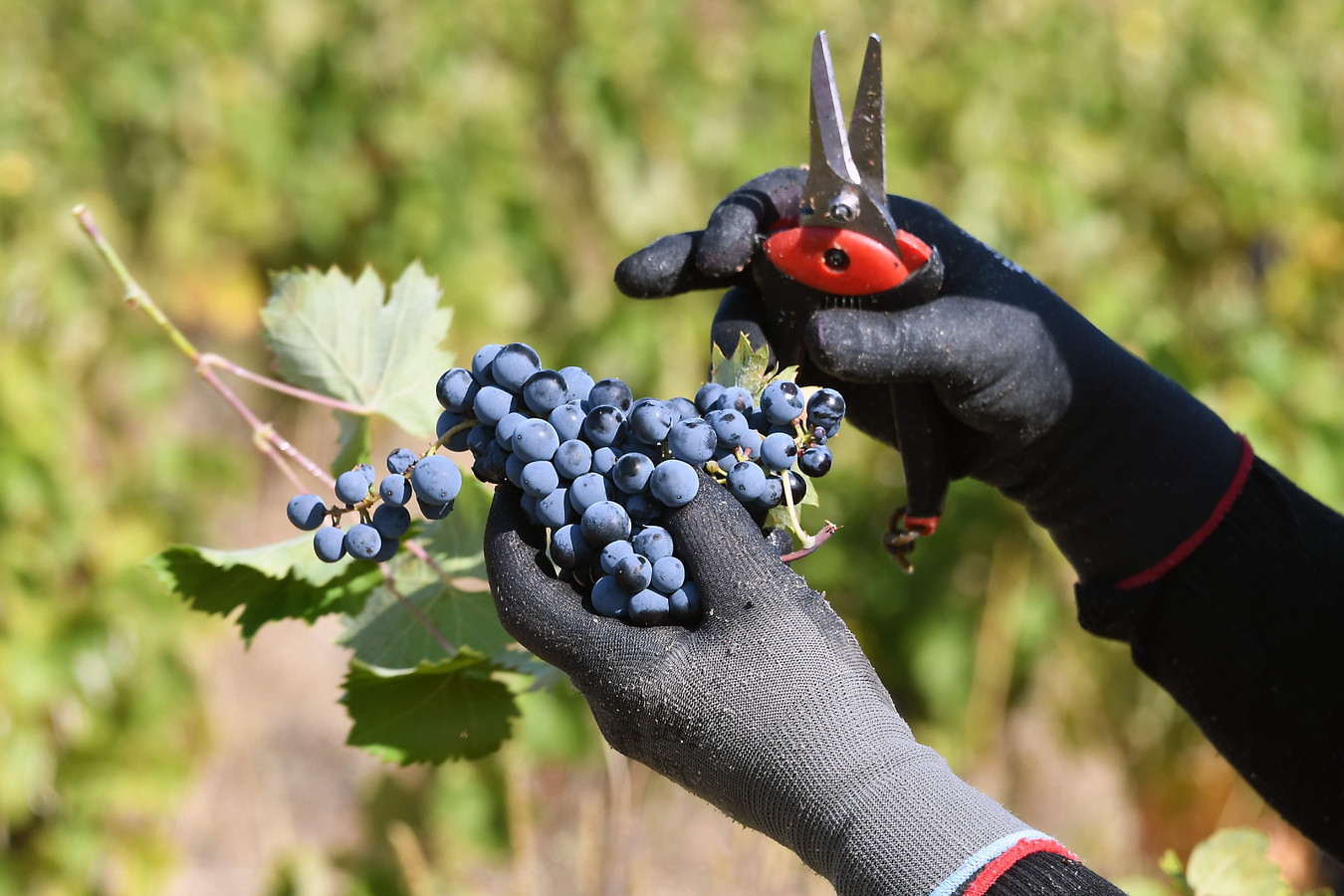 De oogst van druiven bij Pepieux, in de Franse regio Minervois