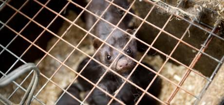 Nertsenbedrijf in Wilbertoord besmet, drieduizend dieren zo snel mogelijk geruimd