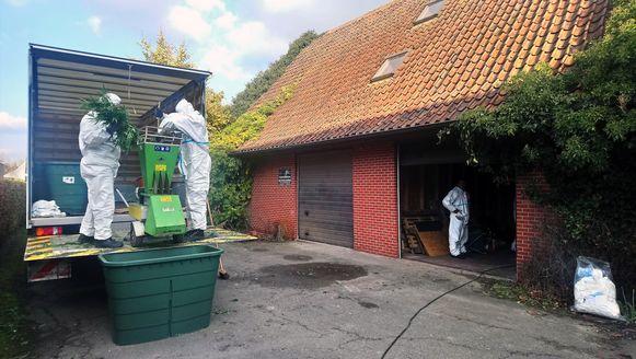 In de Gemelstraat in Hoogstraten: speurders vernietigen de planten.
