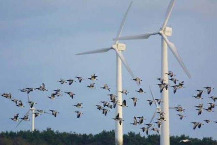 Het bouwen van meer windmolens op Voorne-Putten kan zorgen voor meer vogelsterfte.