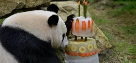 Taart voor jarige panda's Ouwehands
