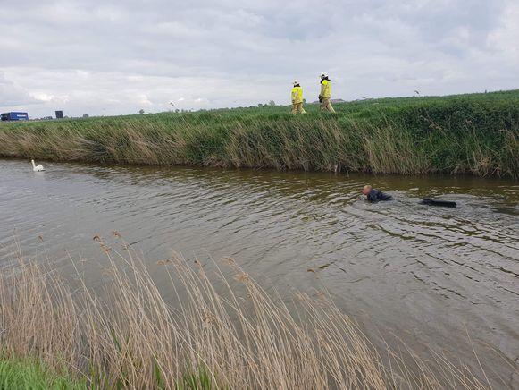 Een duiker van de brandweer van Veurne zwemt de wilde zwaan, papa van het gezin, achterna