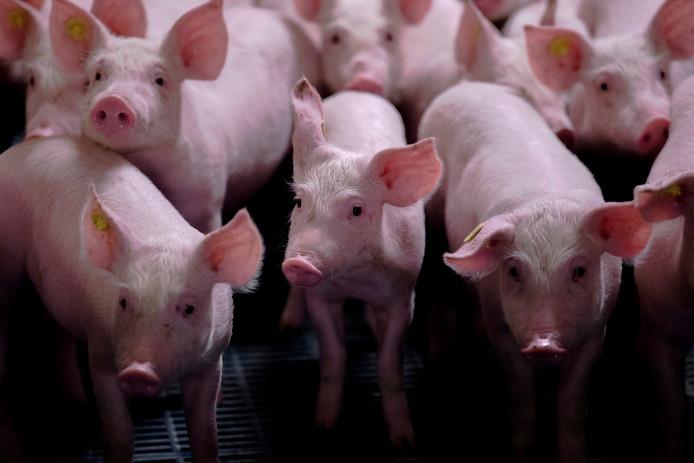 Het inladen van varkens is voor een Spijkenisser trucker uitgelopen op een drama.