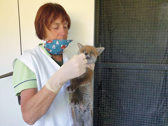 Oprichtster Mieke De Wit verzorgt een jonge vos, het 1.000ste dier dat dit jaar binnengebracht werd bij VOC Neteland.
