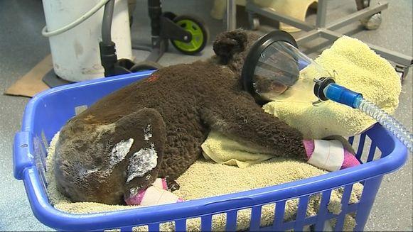 Koala Peter heeft schroeiplekken over 90 procent van zijn lichaam.