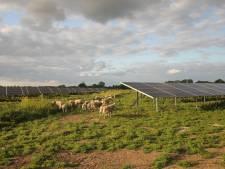 Schapen onderhouden gras bij Ewijks zonnepark