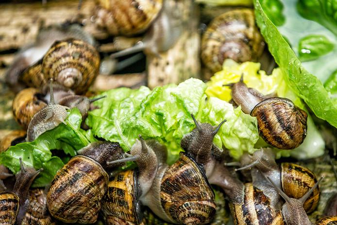 Slakken in kwekerij Escargot & Zo van Irma Bunschoten uit Leimuiden.