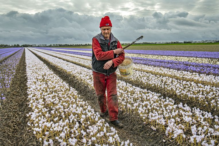 Bollenkweker Joost Pennings aan het werk op een van zijn velden. Beeld Guus Dubbelman/de Volkskrant