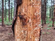 Kever doet zich te goed aan sparren in Zuidoost-Friesland: Staatsbosbeheer kapt aangetaste bomen