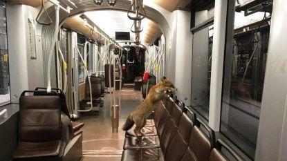 Vos wil tram nemen in Brussel