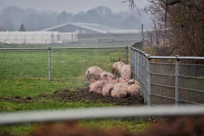 Een aantal varkens heeft de brand overleefd.