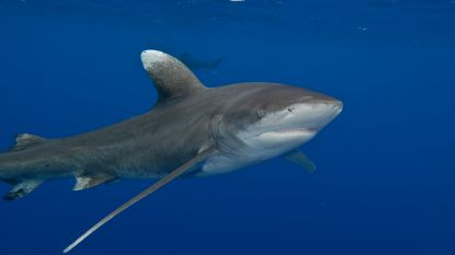 Vrouw (35) verliest handen en borst bij haaienaanval in Stille Oceaan