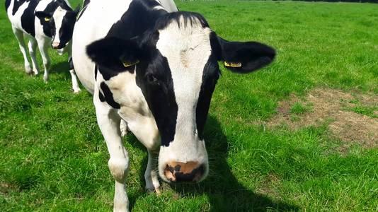 Een van de koeien
