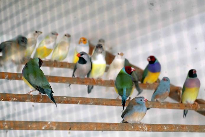 De handel in inheemse vogels is momenteel erg lucratief.
