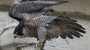 Populatie slechtvalken groeit weer: Vier kuikens geboren in toren Sint-Maartenskathedraal en Iepers vrouwtje gezien boven Britse Cambridge
