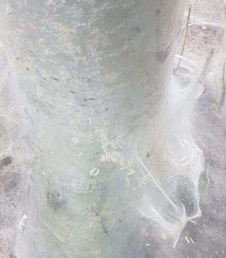 Spinselmot geeft bomen in Hengelo spookachtig aanzien
