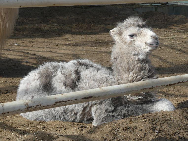 De jonge kameel van Geert Sergeant is voorlopig naamloos.