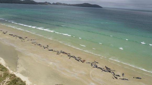 Maandag strandden er nog 145 grienden op Stewart Island, ten zuiden van het Nieuw-Zeelandse Zuidereiland. Geen enkel dier overleefde toen.