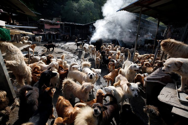 Jaarlijks komen er in Zuid-Korea meer dan honderdduizend huisdieren op straat terecht en dat leidt tot  overbevolkte dierenasiels. Dit asiel in Pocheon is gisteren gesloten op last van de rechter vanwege de misstanden die er heersten.  foto epa Beeld EPA