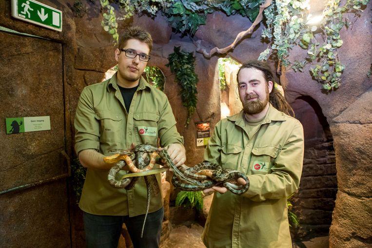 Dierenverzorgers Alexander Vanmassenhove (l.) en Ben Jacobus verwelkomen de korenslangen in het Serpentarium in Blankenberge.