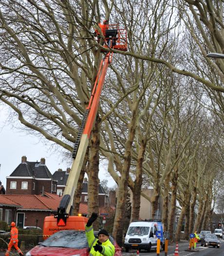 Platanen langs de Crayensteynstraat in Dordrecht krijgen jaarlijkse beurt
