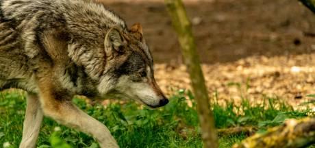 Un troisième loup erre dans le parc de la Haute Campine