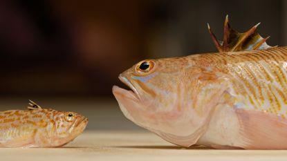 """De pieterman is de lekkerste vis op ons bord, maar de giftigste op het strand: """"Alsof je meerdere wespensteken hebt op één plek"""""""