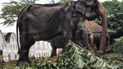 Belangenclub woest om uitgemergelde olifant die tien dagen moest meelopen in processie Sri Lanka