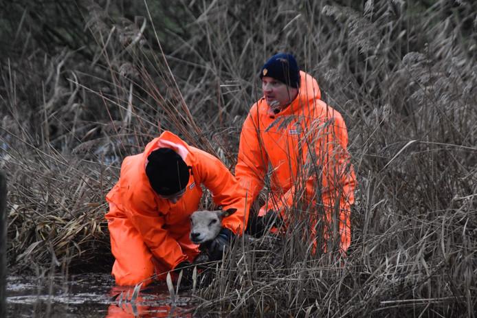 De brandweer haalt een schaap uit het water in Wijk en Aalburg.