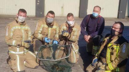 Brandweer redt twaalf eendjes uit rioolput