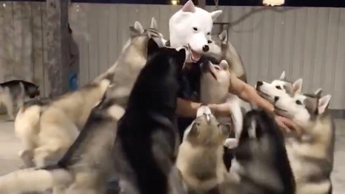 """VIRAL3 Feel Good Friday: Husky's verwelkomen enthousiast speciale """"hond"""" in de roedel"""
