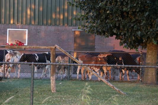 Door de brand in Haps hebben koeien brandwonden opgelopen.