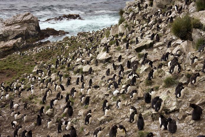 Pinguins op Pebble eiland