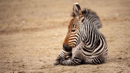 Zebraveulen mag buiten spelen