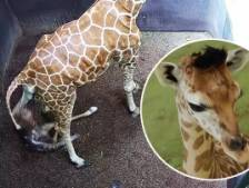 "Ce girafon né en Indonésie baptisé ""Corona"""