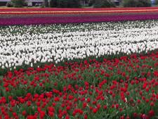 Nederlandse tulpenteelt floreert