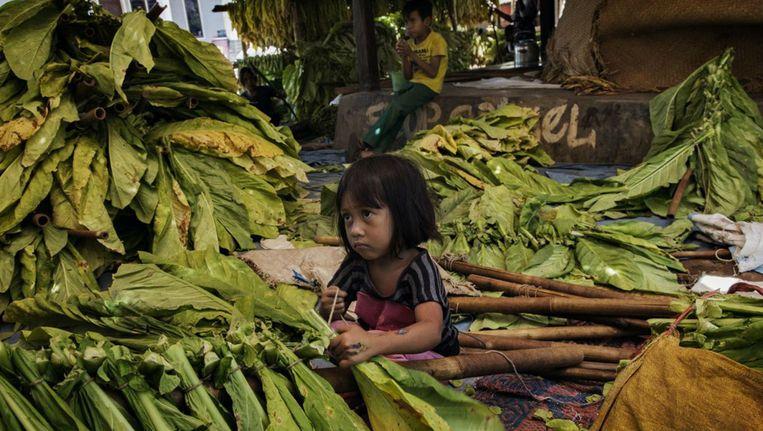 Een jong meisje knoopt tabaksbladeren aan stokken om te drogen. Beeld Marcus Bleasdale for Human Rights Watch
